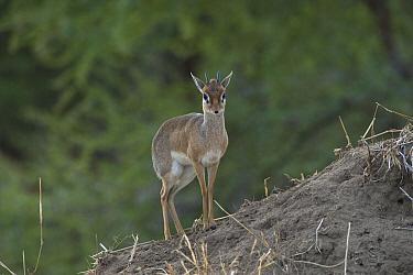 Kirk's Dik-dik (Madoqua kirkii), Tarangire National Park, Tanzania  -  D. Parer & E. Parer-Cook
