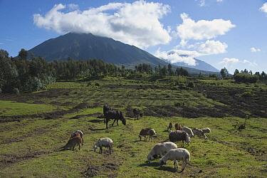Domestic Cattle (Bos taurus) group and Domestic Sheep (Ovis aries) flock grazing, Virunga Mountains, Parc National des Volcans, Rwanda  -  D. Parer & E. Parer-Cook