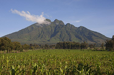 Virunga Mountains with maize in foreground, Parc National des Volcans, Rwanda  -  D. Parer & E. Parer-Cook