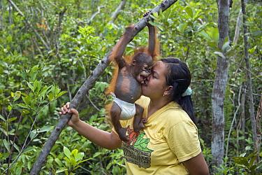 Orangutan (Pongo pygmaeus) caretaker with infant playing in tree during forest exploration and training program, Orangutan Care Center, Borneo, Indonesia  -  Suzi Eszterhas