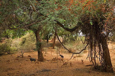 Nyala (Tragelaphus angasii) and Impala (Aepyceros melampus) under trees, Pafuri Camp, Kruger National Park, South Africa  -  Richard Du Toit