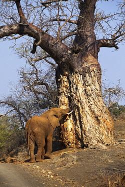 African Elephant (Loxodonta africana) feeding on Baobab (Adansonia digitata) tree bark, Pafuri Camp, Kruger National Park, South Africa  -  Richard Du Toit