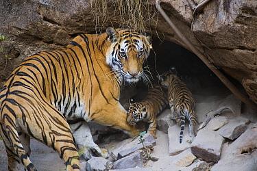 Bengal Tiger (Panthera tigris tigris) mother and four week old cubs at den, Bandhavgarh National Park, India  -  Suzi Eszterhas