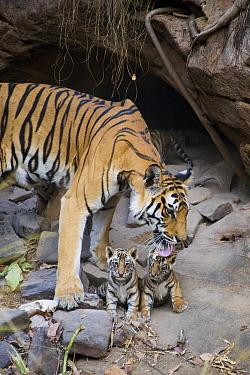 Bengal Tiger (Panthera tigris tigris) mother grooming four week old cubs at den, Bandhavgarh National Park, India  -  Suzi Eszterhas