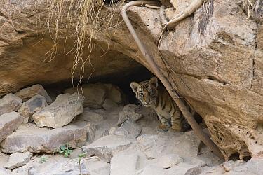 Bengal Tiger (Panthera tigris tigris) four week old cub at den, Bandhavgarh National Park, India  -  Suzi Eszterhas