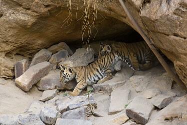 Bengal Tiger (Panthera tigris tigris) four week old cubs at den, Bandhavgarh National Park, India  -  Suzi Eszterhas