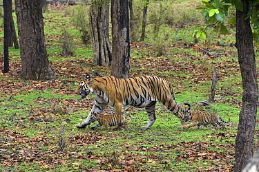 Bengal Tiger (Panthera tigris tigris) mother walking in forest with seven week old cubs, Bandhavgarh National Park, India  -  Suzi Eszterhas