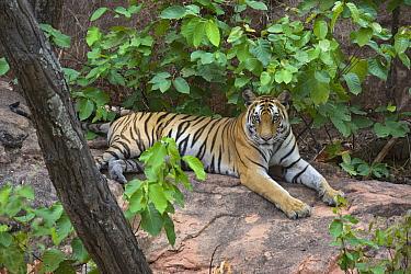 Bengal Tiger (Panthera tigris tigris) female, Bandhavgarh National Park, India  -  Suzi Eszterhas
