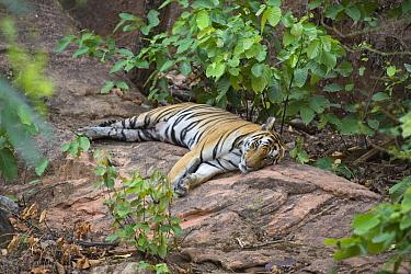 Bengal Tiger (Panthera tigris tigris) female resting, Bandhavgarh National Park, India  -  Suzi Eszterhas