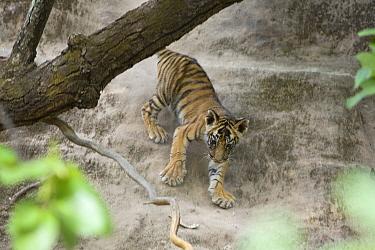 Bengal Tiger (Panthera tigris tigris) eight week old cub climbing down den wall, Bandhavgarh National Park, India  -  Suzi Eszterhas