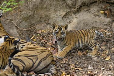 Bengal Tiger (Panthera tigris tigris) mother and eight week old cubs at den, Bandhavgarh National Park, India  -  Suzi Eszterhas