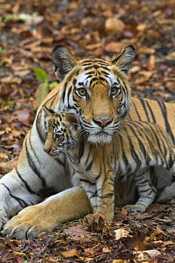 Bengal Tiger (Panthera tigris tigris) mother and eight week old cub, Bandhavgarh National Park, India  -  Suzi Eszterhas