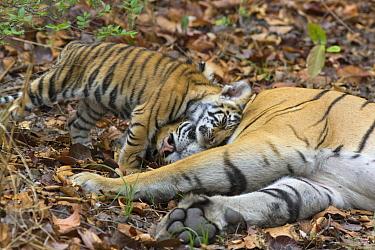 Bengal Tiger (Panthera tigris tigris) eight week old cub nuzzling mother, Bandhavgarh National Park, India  -  Suzi Eszterhas