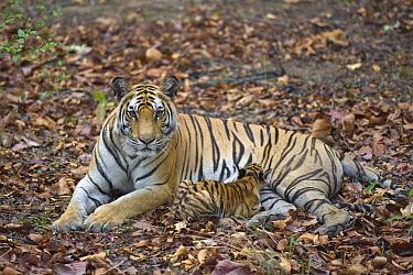 Bengal Tiger (Panthera tigris tigris) mother nursing eight week old cub, Bandhavgarh National Park, India  -  Suzi Eszterhas