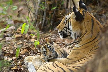 Bengal Tiger (Panthera tigris tigris) mother and eight week old cub, Bandhavgarh National Park, India  -  Suzi Eszterhas