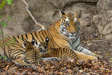 Bengal Tiger (Panthera tigris tigris) eight week old cubs suckling at den, Bandhavgarh National Park, India  -  Suzi Eszterhas