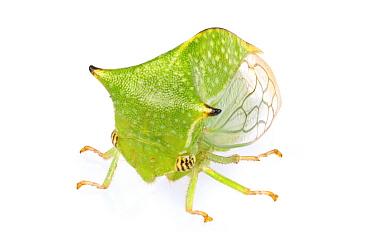 Treehopper (Membracidae), Woburn, Massachusetts  -  Piotr Naskrecki