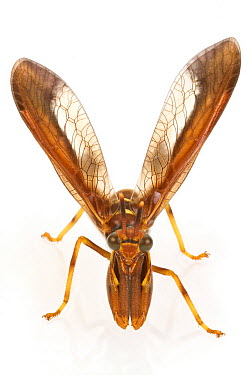 Mantis Fly (Climaciella brunnea), Estabrook Woods, Concord, Massachusetts  -  Piotr Naskrecki