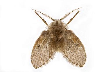 Moth Fly (Clogmia sp), Woburn, Massachusetts  -  Piotr Naskrecki