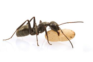 Ant (Formica sp) carrying pupa, Woburn, Massachusetts  -  Piotr Naskrecki