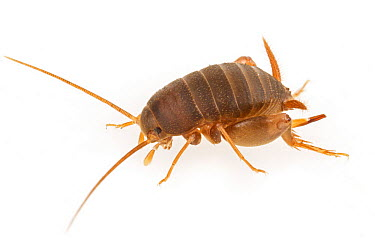Ant Cricket (Myrmecophilus sp), Woburn, Massachusetts  -  Piotr Naskrecki