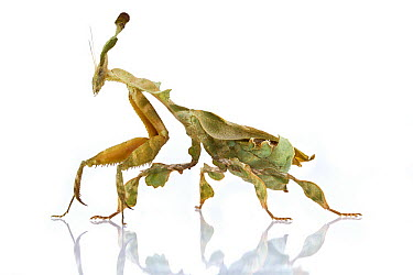 Ghost Mantis (Phyllocrania paradoxa) mimics a leaf, Woburn, Massachusetts  -  Piotr Naskrecki