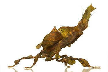 Mantis (Phyllocrania sp), mimicking a leaf, Woburn, Massachusetts  -  Piotr Naskrecki