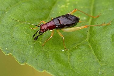 Cricket (Gryllidae), Estabrook Woods, Concord, Massachusetts  -  Piotr Naskrecki