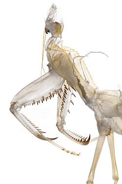 African Mantid (Sphodromantis sp) exuvia left after molting  -  Piotr Naskrecki