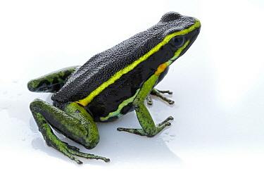 Three-striped Poison Dart Frog (Ameerega trivittata), Suriname  -  Piotr Naskrecki