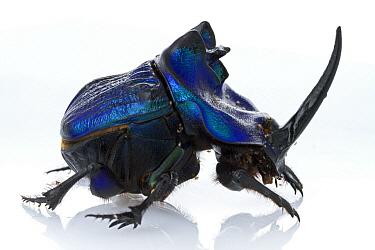 Rhinoceros Dung Beetle (Coprophanaeus lancifer), Suriname  -  Piotr Naskrecki