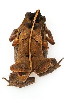 Beaked Toad (Rhinella lescueri) pair in amplexus, camouflaged to look like leaf litter, Suriname  -  Piotr Naskrecki