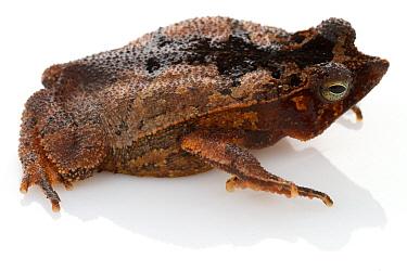 Beaked Toad (Rhinella lescueri), Suriname  -  Piotr Naskrecki
