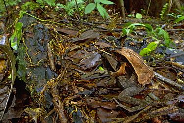 Beaked Toad (Rhinella lescueri) pair in amplexus, Suriname  -  Piotr Naskrecki