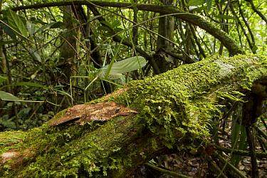 Katydid (Tettigoniidae), newly discovered species, camouflaged on tree trunk, Suriname  -  Piotr Naskrecki