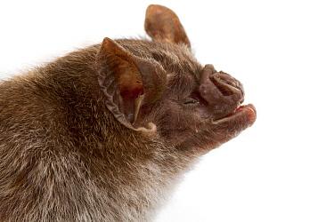 Vampire Bat (Desmodus rotundus), Suriname  -  Piotr Naskrecki