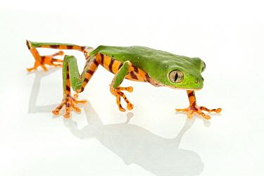 Tiger-striped Leaf Frog (Phyllomedusa tomopterna) walking, Suriname  -  Piotr Naskrecki