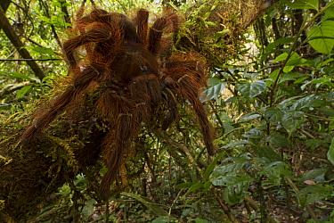 Tarantula (Theraphosidae) in rainforest, Suriname  -  Piotr Naskrecki