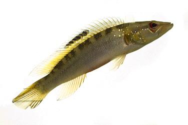 Cichlid (Crenicichla sp), Suriname  -  Piotr Naskrecki