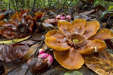 Clusia (Clusia grandiflora) flowers on forest floor, Suriname  -  Piotr Naskrecki