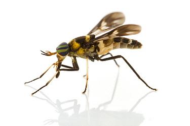 Horse Fly (Tabanidae), Suriname  -  Piotr Naskrecki