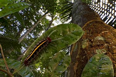 Lepidopteran caterpillar in rainforest, Suriname  -  Piotr Naskrecki