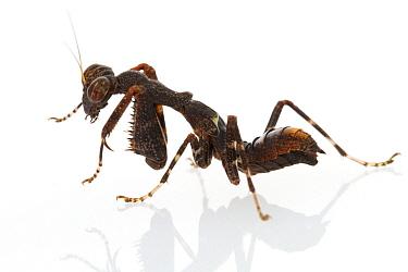 Praying Mantis (Acontista sp) nymph, Suriname  -  Piotr Naskrecki