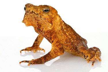 Crested Forest Toad (Bufo margaritifer), Suriname  -  Piotr Naskrecki