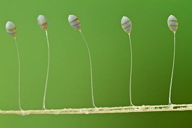 Green Lacewing (Chrysopidae) butterfly eggs, Suriname  -  Piotr Naskrecki