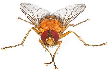 Tachinid Fly (Tachinidae), Woburn, Massachusetts  -  Piotr Naskrecki
