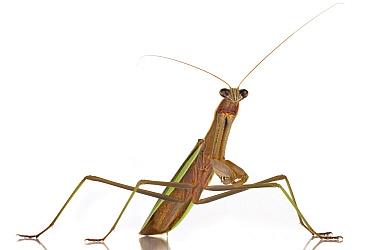 Mantid (Mantidae), Woburn, Massachusetts  -  Piotr Naskrecki