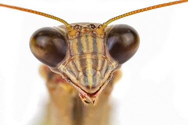 Praying Mantis (Tenodera sp), Woburn, Massachusetts  -  Piotr Naskrecki