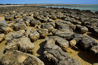 Stromatolites, colonies of blue-green algae, the oldest life form that still exists today, over three billion years old, Hamelin Pool, Shark Bay, Western Australia  -  Hiroya Minakuchi