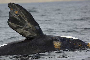 Southern Right Whale (Eubalaena australis) pectoral fin, Valdes Peninsula, Argentina  -  Hiroya Minakuchi